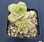 라즈아가금|Echeveria agavoides sp