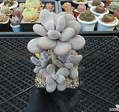 오비포럼 자연군생5-849|Pachyphytum oviferum