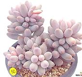 베이비핑거|Pachyphytum Machucae(baby finger)