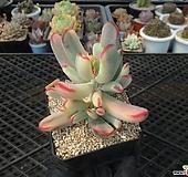원종방울복랑금5-949|Cotyledon orbiculata cv variegated