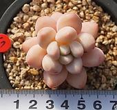 67 후레뉴|Pachyphytum cv Frevel
