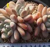 90 후레뉴|Pachyphytum cv Frevel