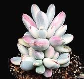 방울복랑금(자연군생) 25-27|Cotyledon orbiculata cv variegated