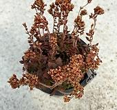 세툴로사 Crassula Setulosa