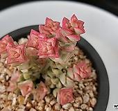 346.희성금|Crassula Rupestris variegata