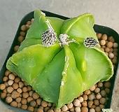 돌기난봉옥선인장 키울수록돌기많아져요  사이즈좋아요  0555 산아래다육이 Haworthia truncata