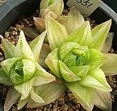 경화금1551 Haworthia cymbiformis f. variegata