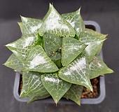 콤프토니아 Haworthia comptonia