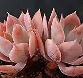 핑키목대8537|Echeveria cv Pinky