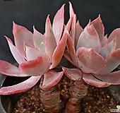 핑키목대8538|Echeveria cv Pinky