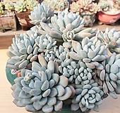 후레뉴 묵으한몸 (자연군생  특대품)|Pachyphytum cv Frevel