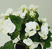 장미베고니아 흰꽃|