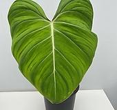 [새잎올라오는중] 필로덴드론 글로리오섬 1/동일품배송|