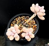 아메치스(합식) 28-109|Graptopetalum amethystinum