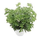 구문초(중품) 로즈제라늄 벌레퇴치식물|pelargonium inquinans