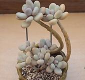 홍미인 묵은한몸 |Pachyphytum ovefeum cv. momobijin