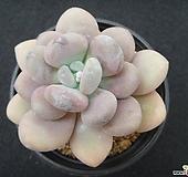 월미인 0616 Pachyphytum oviferum Tsukibijin