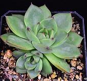 문스톤(에케베리아) 16 Pachyphytum Oviferum Moon Stone