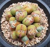 차우바니에-181|Conophytum Chowbanier