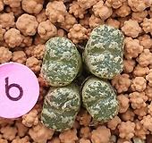 코노피튬 네오할리 4두군생|Conophytum