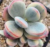 방울복랑수박금대형종|Cotyledon orbiculata cv