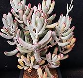 130.원종방울복랑금|Cotyledon orbiculata cv variegated