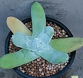 두들레야 파키피덤 수입들어온사이즈좋은아이입니다 0609 산아래다육이 Dudleya pachyphytum