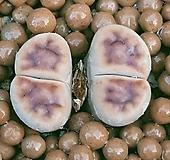 리톱스 카라스몬타나 특가로드려요  0665 산아래다육이|Lithops