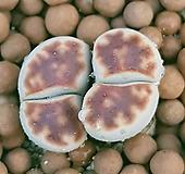 리톱스 카라스몬타나  예뿐쌍두입니다  0661 산아래다육이|Lithops