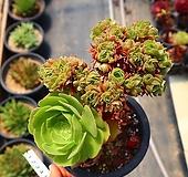 샐러드볼철화 130620|Aeonium Salad bowls