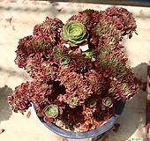 샐러드볼철화 810620|Aeonium Salad bowls