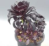 로즈흑법사|Aeonium arboreum var. atropurpureum