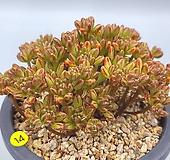 소인제|Aeonium sedifolius