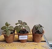 슈데란써멈 얼레이텀(수입식물) 새로입고|
