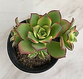 까라솔 (00618)|Aeonium decorum f variegata