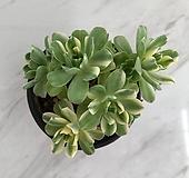 애연금 (00618)|Aeonium domesticum fa Variegata