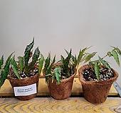 베고니아 암피옥서스(수입식물) 재입고 |