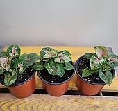 싱고니움드워프(수입식물)  소량입고|Graptopetalum rusbyi