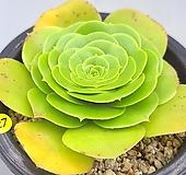 팔천의경|Aeonium tabuliforme