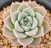 핑크스팟 61 Echeveria Pink spot