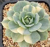 클라우카금 60|variegated