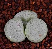 Conophytum ssp 1|