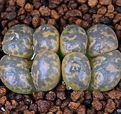 Conophytum pellucidum carousberg産 카로스베로크 10|