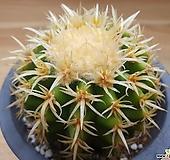 단자금호(실생)|Echinocactus grusonii brevispinus