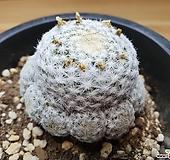 희춘성(자구번식)|Mammillaria humboldtii var. caespitosa