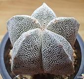 온즈카(실생)|Astrophytum myriostigma cv. ONZUKA