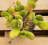 웅동자금 Cotyledon ladismithiensis f. variegata