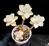 살구미인(컷팅) 11-26 Graptoveria Titubans