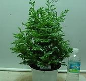 블루버드1번-청진백-인기식물-동일상품배품 