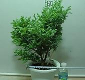 블루버드3번-청진백-인기식물-동일상품배품 